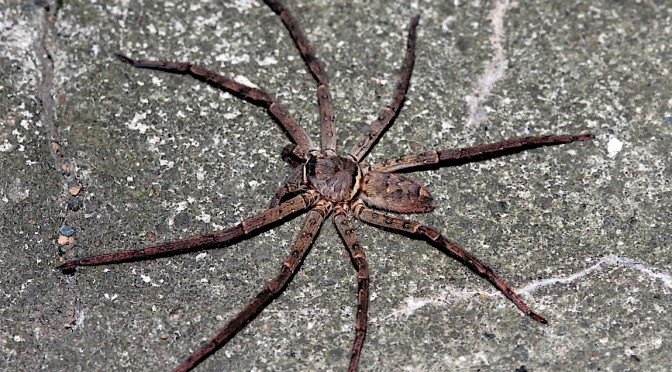 【世界最大の張りつきグモ】アシダカグモ